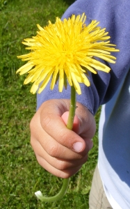 1286508_dandelion_weed_or_wonder
