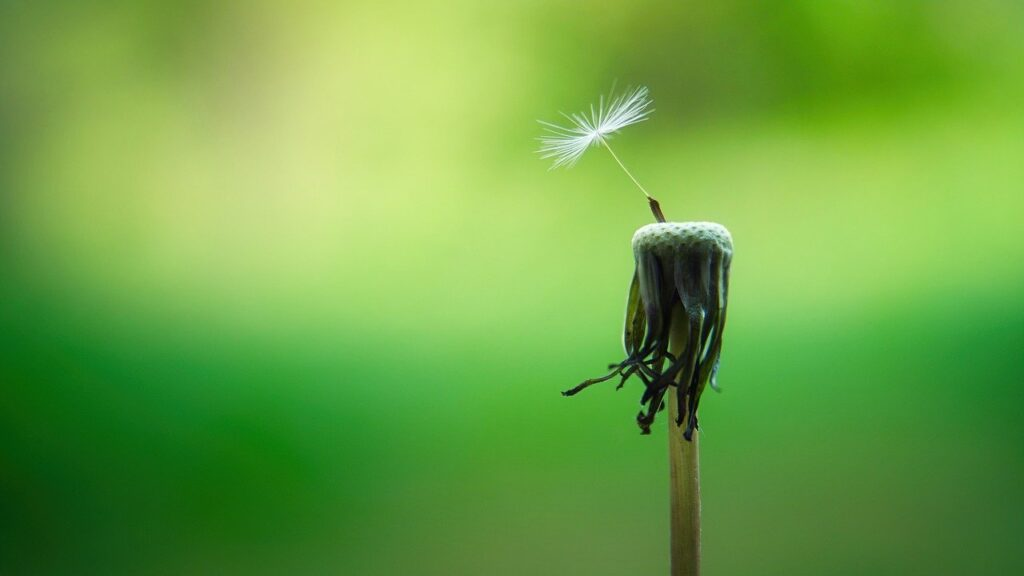 dandelion stalk with single seed still attached on vibrant green blurred background